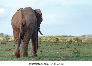 Elephant walking away with his one foot lifted in the air.