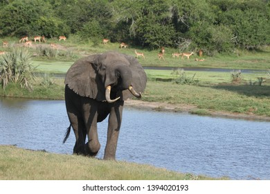 An elephant walking and drinking near a waterhole with impala in the background