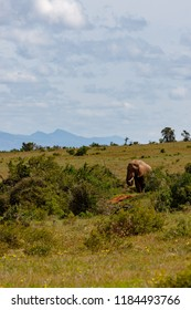 Elephant walking in the field with mountains in the background