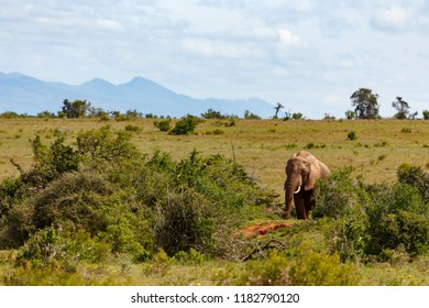 Elephant walking in the field on a cloudy day