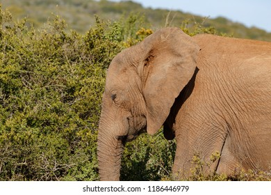 Elephant walking with his eyes closed in the field