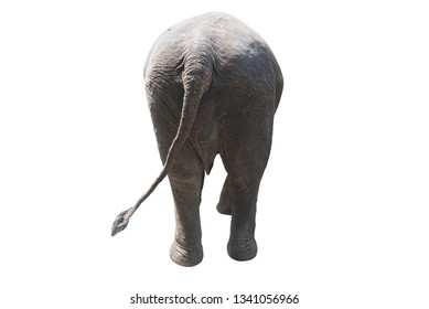 Elephant walking isolated on white, rear view