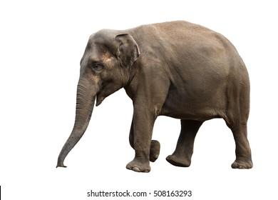Elephant walking isolated on white background
