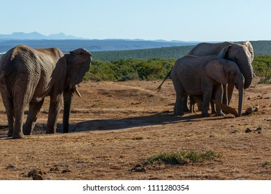 Elephant walking to the other Elephants standing and drinking water