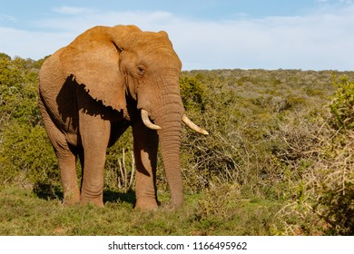 Elephant walking proudly through the bushes in the field