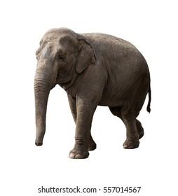 Elephant walking at sunny day isolated on white background