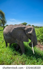 Elephant walking in the tall grass