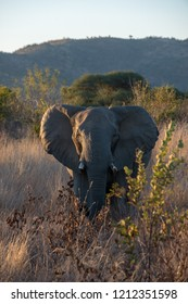 elephant walking through the savanna during a safari in africa