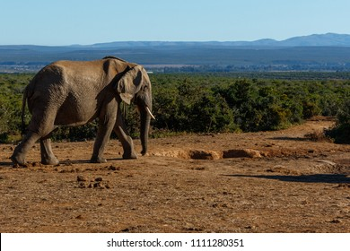 Elephant walking to the watering hole next to the bushes