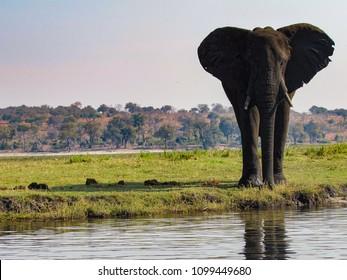 An elephant warns not to get too close with its big ears, Zambezi River, Zambezi National Park, Zimbabwe