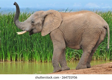 Elephant at watering hole sniffing
