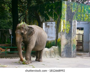Elephant wearing a plant as a hat under a palm tree at Manila zoo