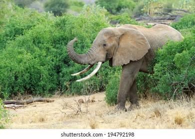Elephant in the wild - national park Kenya, Africa