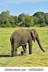 Elephant, Wild Nature, Sri Lanka, Minneriya National Park