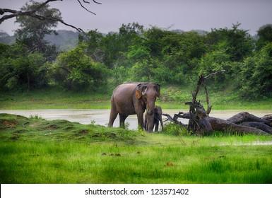 Elephant in the wild . Rainy weather. Country Of Sri Lanka