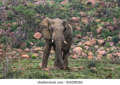 Elephant in the wild at  the Welgevonden Game Reserve in South Africa