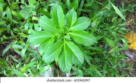 Elephant yam plant
