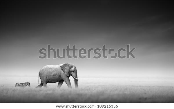 Elephant with zebra behind on open plains of Etosha (Artistic processing)