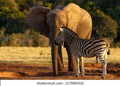 Elephant and Zebra standing together at the watering hole