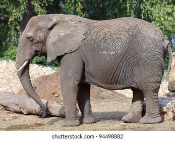 Elephant in a zoo