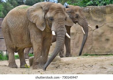 elephant , ZOO Dvur Kralove, eastern Bohemia, Czech Republic