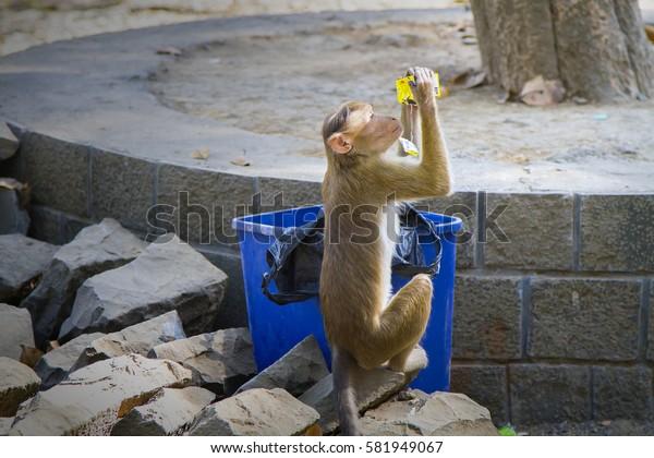 ELEPHANTA ISLAND, INDIA - JANUARY 03, 2017: Monkey drinking juice from a package, Elephanta cisland, Maharashtra, India.