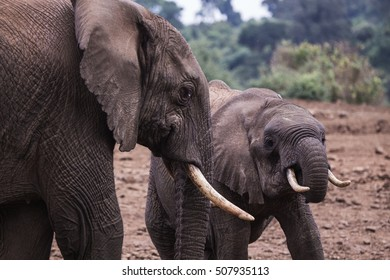 elephants in Aberdare National Park in Kenya Africa