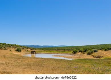 Elephants in Addo Elephant National Park in Port Elizabeth - South Africa