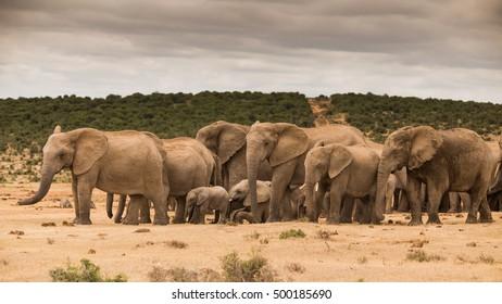 Elephants at Addo Elephant Park - South Africa