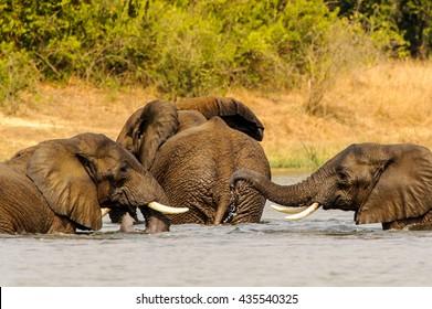 Elephants in Africa, Uganda