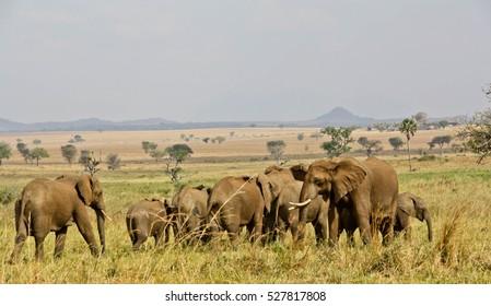 Elephants in African savanna plains