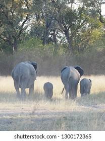 Elephants with Babies, Okavango Delta, Botswana