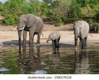 Elephants with Baby, drinking at Chobe River, Botswana