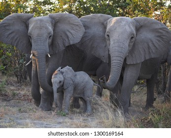 Elephants with Baby, Savuti, Botswana