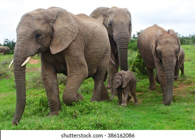 elephants with a baby south africa at addo elephant park