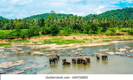 Elephants bathing in the river. National park. Pinnawala Elephant Orphanage. Sri Lanka