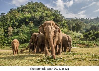 Elephants in Chiang Mai. Elephant Nature Park, Thailand