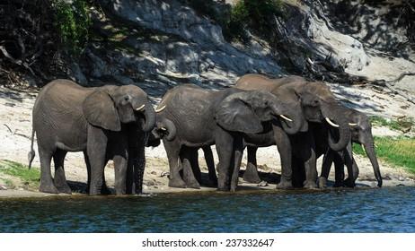 Elephants in Chobe National Park Botswana