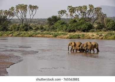 Elephants crossing the Ewaso (Uaso) Nyiro River, Samburu Game Reserve, Kenya. Female elephant leading group is collared for radio-tracking.