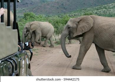 Des éléphants traversent le chemin du parc Pilanesberg en Afrique du Sud