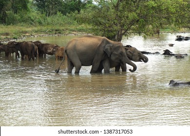 Elephants are drinking in lake with gnu or wildebeest in Udawalawa national park in Sri Lanka