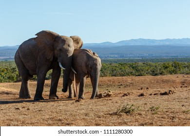 Elephants drinking water from the hole close to the metal plate