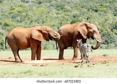 Elephants drinking water while keeping an eye on the close by Zebra.