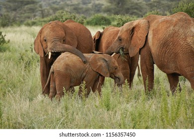 Elephants eating, greeting, playing in Samburu Game Reserve, Kenya