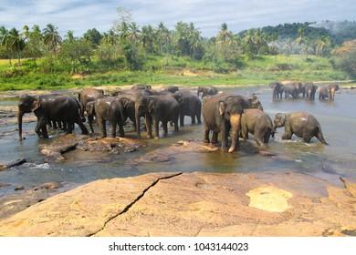 Elephants, Elephans maximus, of Pinnawala elephant orphanage is bathing in river, Sri Lanka