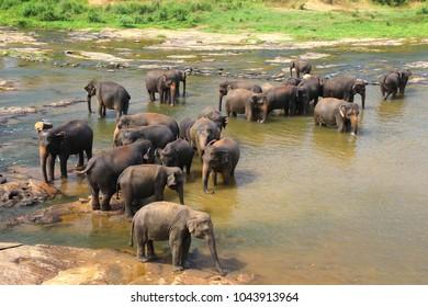 Elephants, Elephans maximus, of Pinnawala elephant orphanage bathing in river