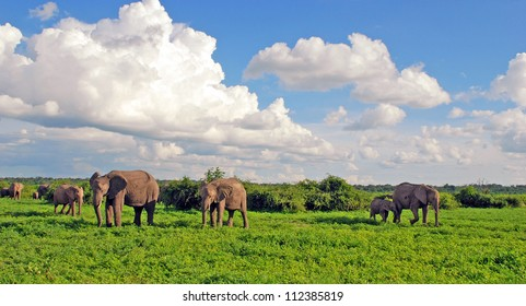 Elephant's family in african savannah. Panoramic view with scenic clouds and green grass in national park Chobe(Botswana)
