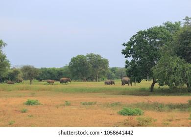Elephants family in Sri Lanka