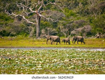 Elephants family in wild nature. Yala National Park. Sri Lanka