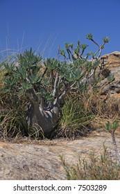 The Elephants Foot Plant in the Grand Canyon of Madagascar Isalo National Park